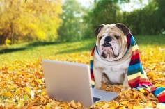 Bulldog with a laptop in autumn